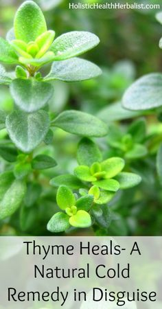 Thyme Heals- A Natural Cold Remedy in Disguise holistichealtherbalist.com