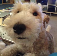 """the """"cute"""" strategy Terrier Rescue, Fox Terriers, Wire Fox Terrier, Animals And Pets, Cute Animals, Lakeland Terrier, Pet Fox, Squirrels, Little Dogs"""