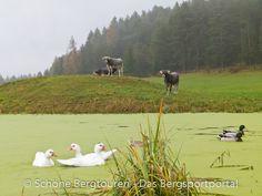 Kühe und Enten im Teich am Wölflhof am E5 Fernwanderweg zwischen Deutschnofen und Bozen - Foto: Mario Hübner Cow, Mario, Animals, Pictures, Roses Garden, Water Pond, Hiking, Italy, Animales