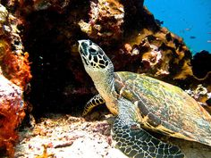 Amazing close-up of a turtle at Bunaken