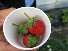 Just a few of the fresh picked strawberries that were exceptionally sweet Strawberry Picking, Strawberry Desserts, Tokyo With Kids, The Fresh, Strawberries, Canning, Fruit, Sweet, Japan