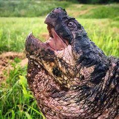 Okay. This turtle (alligator snapping turtle.) just straight up looks like Godzilla.