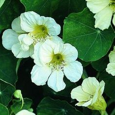White Nasturtiums...I have never seen them but I like them, maybe even better than the lovely bright coloured ones.