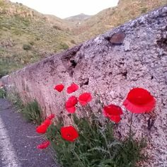 'Close encounters of the poppy kind' #FloraCanaria #GranCanaria By Michel Eamon 2015
