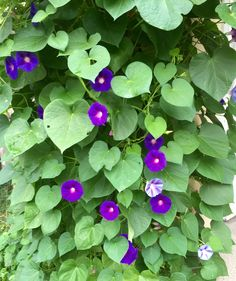blooming morning glory in Vienna next to the front door of an old house in Pötzleinsdorf (September Vienna, Porches, Garden Landscaping, Cosy, Beautiful Flowers, Garden Design, September, Bloom, Gardens