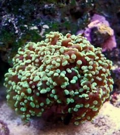 The Frogspawn Coral is a large polyp stony coral often referred to as the Wall, Octopus, Grape, or Honey Coral. Its polyps remain visible throughout both the day and night, resembling a mass of fish eggs or frog eggs, hence one of its common names Frogspawn.