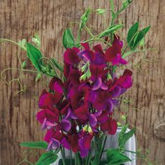 Sweet Pea Seeds - Cupani: Species introduced to Britain in 1699 by a monk: Brother Cupani. Bicoloured flowers, maroon upper petals with violet 'wings', making lovely cut flower posies with a … Growing Sweet Peas, Sweet Pea Seeds, Sutton Seeds, Shades Of Violet, Cut Flowers, Brother, Wings, Backyard, Plants
