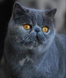 exotic shorthair cat... I want to boop it's nose!