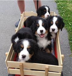 Bernese Mountain Dog puppies, OMG, I'm in LOVE!!!