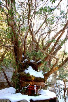 Japanese miniature Shinto Shrine built inside a tree, Hakone