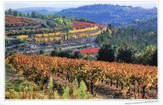 Provence, France. Vignes et Cerisiers en Automne.