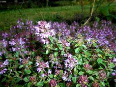 Mateřídouška - pomáhá proti suchému kašli a uklidňuje mysl Nordic Interior, Medicinal Herbs, Korn, Good Advice, Gardening, Health, Plants, Health Care, Lawn And Garden