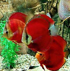Different Types of Saltwater Aquariums Discus Aquarium, Saltwater Aquarium Fish, Discus Fish, Planted Aquarium, Discus Tank, Tropical Freshwater Fish, Freshwater Aquarium Fish, Tropical Fish, Acara Disco