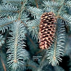 Closeup of a Blue Spruce needles and pinecone.