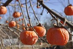 """Rosseyanka Persimmon:    """"A truly amazing marriage between Asian and American Persimmons. . . . the taste of Kaki persimmons can be enjoyed in the North.  More of the American parent is evident in leaf and tree form. Fruit tastes like a blend of soft Asian persimmon and ripe native persimmon. Fruits are seedless! . . . candy like orange fruit . . .  Fruit size is larger than native persimmon. Must be soft to eat. Fruits will """"wrinkle"""" when ripe. Height 15'-20'. Space 15' circle Zones 5-8."""""""
