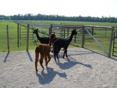 Ramblin Rose Alpacas is a small, family owned farm where quality is the essential ingredient in our recipe for success. We take pride that each alpaca is known by name and given individual care and attention. We are full time breeders and offer personal service and support 24/7 for as long as needed. Visit our farm and gift shoppe where you will find unique high quality alpaca made clothing, yarn, teddy bears, and more. 6316 Root Rd., Conneaut, Ohio (440) 594-1900