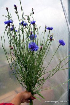 Kornblomst, Centaurea blue ball