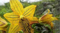 Orquídea de Lima - C