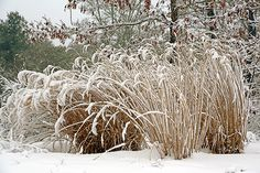 Seedheads of rudbeckia with tall brown ornamental grass in winter one reason people leave grasses is that they are most beautiful in the fall and early winter in the fall their seed heads sparkle in the sun workwithnaturefo