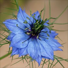 Devil-in-the-Bush, or Love-in-a-Mist or Lady-in-the-Green (Nigella damascene) is an heirloom flower, that has been grown in gardens since the 1600s, belonging to the buttercup family (Ranunculaceae).