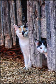 Peek a meow