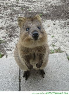 Meet the quokka. His is the happiest animal ever. Always smiling