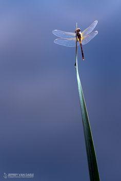 Summit by Jeffrey Van Daele on Dragonflies, Wind Turbine, Bugs, Butterflies, Insects, Van, Pictures, Dragon Flies, Beetles