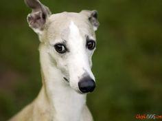 Aimable bon chien de race de chien dans une photo privée
