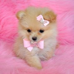 Cute And Adorable Pomeranian Puppies For Adoption Picture