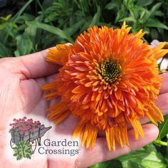 Huge Blooms, Intense Color. Colorburst™ Orange Echinacea '' -- Coneflower