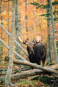 a siteing of a real wild moose for my husband ...I will make this happen!