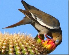 Birds of Phoenix - Gallery 3: White-Winged Dove, Feasting