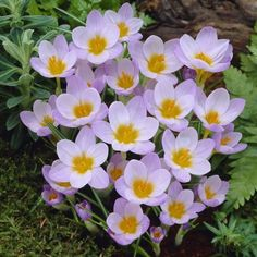 An early-blooming snow crocus, Fire Fly has lavender petals that are golden yellow where they meet the stem. A great choice for planting beneath shrubs.