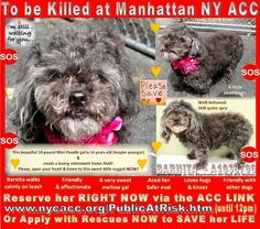 SAFE - 06/09/15 - Help me please! - BARNITA - FEMALE BLACK AND GRAY POODLE MIN MIX, 14 Yrs Old. STRAY ON 06/04/15