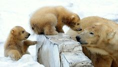 Polar Bear 'Rara' nuzzles with her twin cubs at Sapporo Maruyama Zoo in Sapporo northern Japan. Read more: