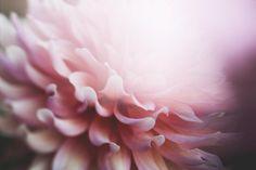flowers, nature, blossoms, pink, petals, bokeh, macro, outdoors, garden, pristine, white