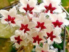 Hoya flagelata Beautiful Flowers, Amazing Flowers, Pretty Flowers, Hoya Plants, Trees To Plant, Unusual Flowers, Wax Flowers, Love Flowers, Planting Flowers