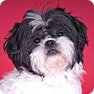 Chicago, IL - Shih Tzu. Meet Beau, a for adoption. http://www.adoptapet.com/pet/18033296-chicago-illinois-shih-tzu