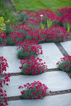 Modern concrete walkway interplanted with Dianthus