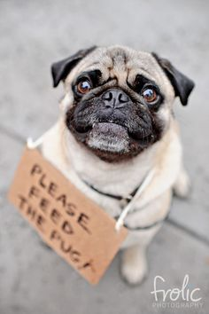 Image result for pug begging