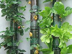 Grow plants up a wall using pipe, clamps, and soda bottles.