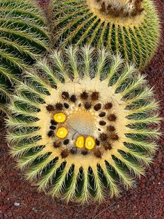 Circle cactus by moonjazz, via Flickr