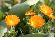 souci officinal fleur utile