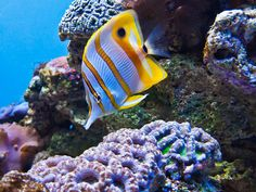 hCopperband Butterfly fish, Chelmon rostratus, also commonly called the Beak Coralfish is found in reefs in both the Pacific and Indian Oceans.