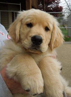 Golden Retriever Puppy https://m.facebook.com/WingstarGoldenRetrievers