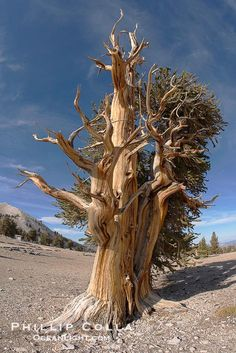 The ancient Bristlecone Pine Tree (Pinus longaeva) is considered to be the oldest species of tree, as well as the oldest sexually reproducing, nonclonal lifeform on Earth. © Phillip Colla,