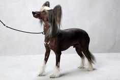 Butters the Chinese Crested (Toy). Butters, registered as Crestline Butters Scotch, is owned by Mercedes Vila. (Fred R. Conrad, a New York Times photographer, set up a studio at the 2013 Westminster Kennel Club dog show and invited Best of Breed winners to pose.)