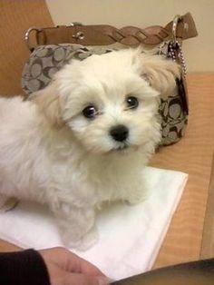 Looks like Bentley Maltipoo Puppies, Maltese Dogs, Cute Puppies, Cute Dogs, I Love Dogs, Puppy Love, Poodle Mix Breeds, Baby Animals, Cute Animals