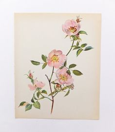 Vintage Roses Picture, Picture of Roses, Pink Roses, Rose Art, Dog Rose, Wall Hanging, Home Decor, Picture of Flowers on Etsy, £6.50