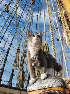 "losta9view: thistleburr: Ditty, our ship cat, looking magnificent and nautical.  ""Now…bring me that horizon."""